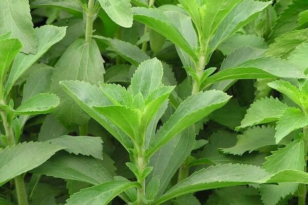 Stevia: de bomen door het bos en welke stevia moet je kopen?